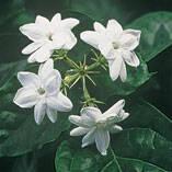 Peacock Jasmine Plant