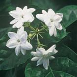 Peacock Jasmine Plants - Set of 2