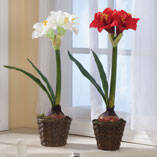 Potted Amaryllis