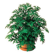 Anti Mosquito Plants - Set Of 2