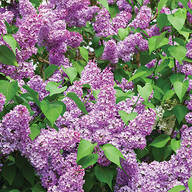 Yankee Lilac Mix
