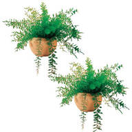 Mysterious Air Fern, Set of 2