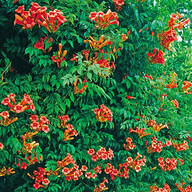 Orange Trumpet Creeper Vine