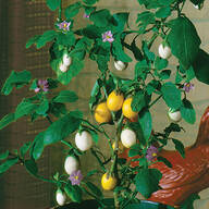 Wonder Egg Plant